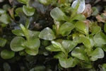 Dotted Thyme-moss (Rhizomnium punctatum)